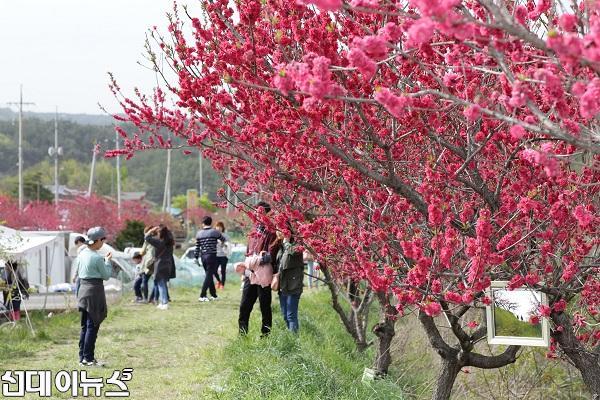 분홍빛 향기 가득한 주문진 복사꽃축제 개최 02.jpg
