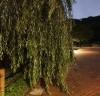 [곽기자의 자연산책] 장맛비가 쏟아진 후… 머리를 말리는 버드나무